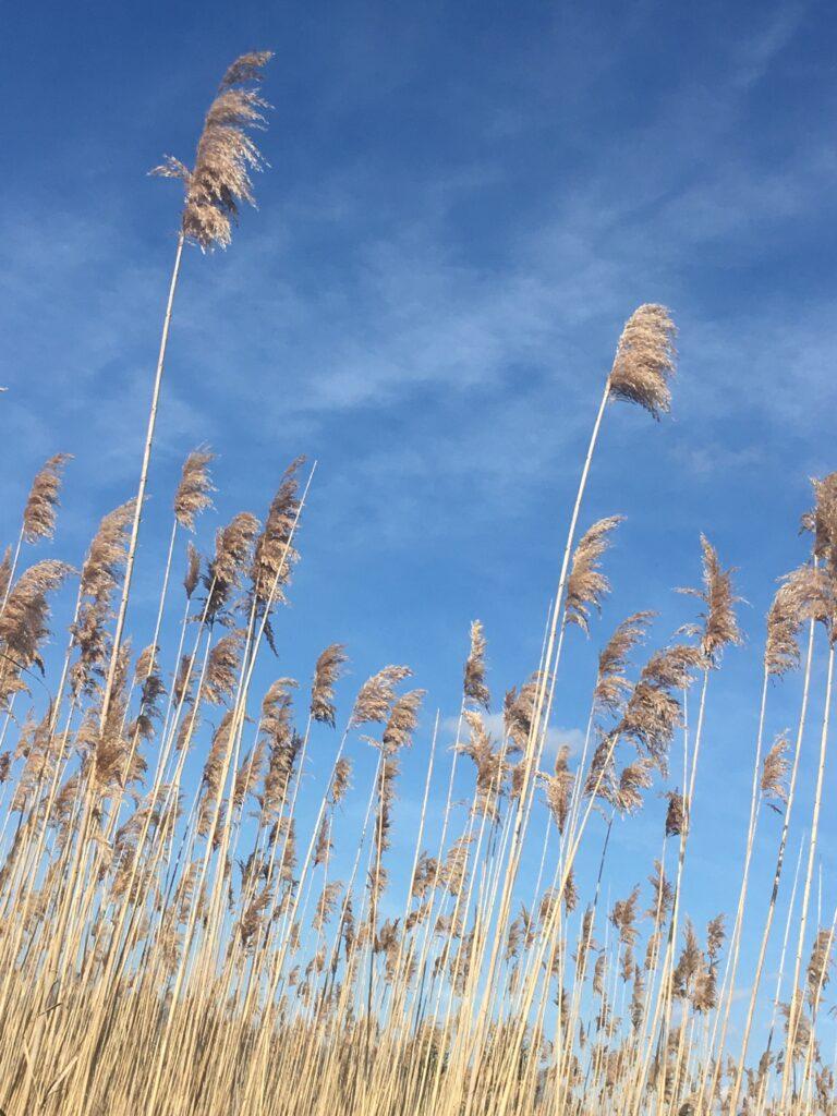 beach grass waving in the autumn wind against a clear blue sky